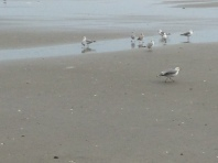 Herding Seagulls